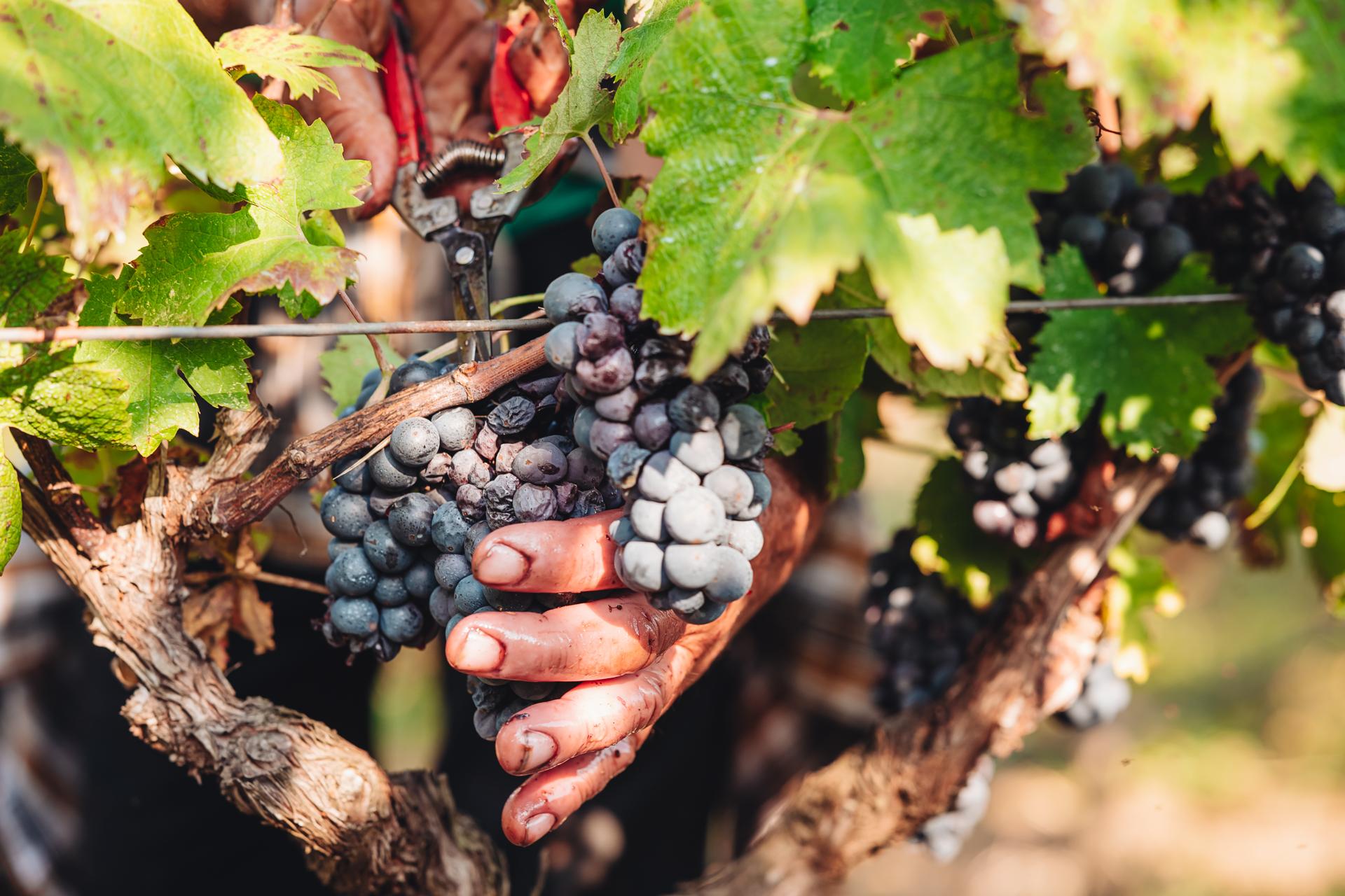 PUGLIA / ITALY –  SEPTEMBER 2019: Seasonal harvesting of Primiti